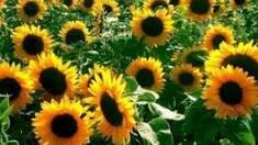 Особливості соняшникових гібридів