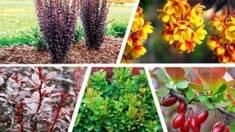 Сорта барбариса Тунберга: колючий кустарник или роскошное растение?
