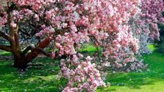 Все про догляд за магноліями в саду