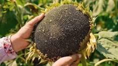 Як правильно обрати гібрид соняшника?