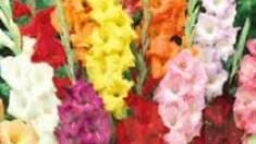 Как вырастить цветущие и здоровые гладиолусы подскажут наши специалисты!