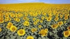 Особливості насіння соняшника сорту Жалон