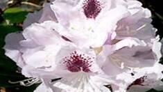 Появился в продаже новый сорт Рододендрона белого (Calsaр)