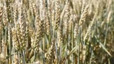 Доступен для заказа сорт озимой пшеницы Новосмуглянка 2016!