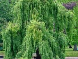 Плакучі дерева