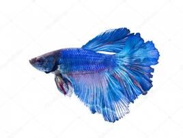 Риби акваріумні