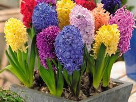 Семена и луковицы цветов