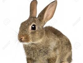 Кролики декоративні