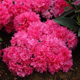 Садові рослини та квіти