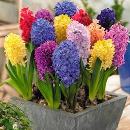 Насіння та цибулини квітів