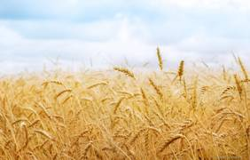 ukraine-expects-to-gather-50-million-tons-of-grain-harvest