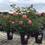 Большой выбор саженцев роз на нашем сайте