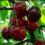 Саджанці черешні сорт Василина