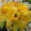 Рододендрон листопадний Golden Sunset 3 річний, Рододендрон листопадный Голден Сансет, Azalea Golden Sunset
