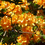 Рододендрон листопадный Christopher Wren 2 годовой, Рододендрон листопадный Кристофер Врен, Rhododendron