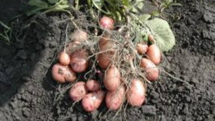 """Ціни на картоплю виявились """"несезонно дорогими"""""""