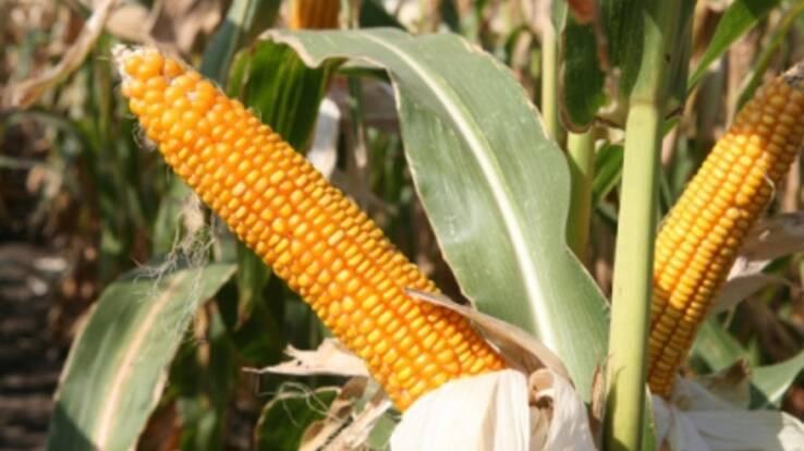 Ukraine to grow corn
