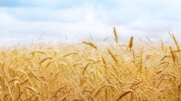 Ukraine expects to gather 50 million tons of grain harvest