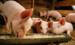 Комбикорм для свиней: кормим с выгодой