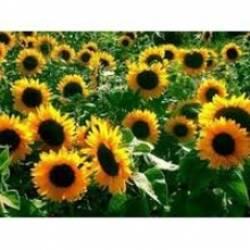 Купить семена подсолнечника оптом: особенности выбора