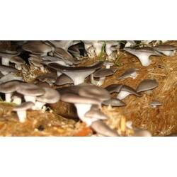 Вирощування грибів глива як спосіб хорошого заробітку