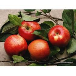 Яблоки оптом купить - здоровье себе обеспечить