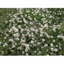 Трава клевер: особенности выращивания