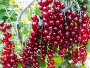 Следует знать: красная смородина лучшие сорта и их особенности
