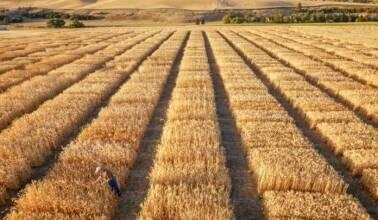 """Топ-5 лучшие сорта озимой пшеницы по версии компании """"МТД""""!"""