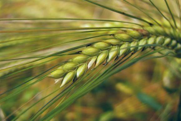Яровой ячмень: особенности выращивания