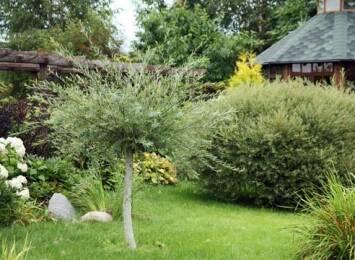 Розшукуються покупці на саджанці хвойних дерев!