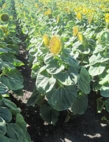 Новинка! Семена подсолнечника Форвард для высокого урожая!
