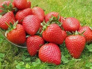 Вигідна пропозиція від «ОПГ Анастюк»: високоплодючі сорти смачної полуниці в наявності!