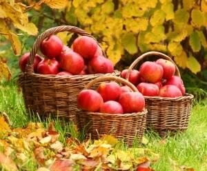 Почався збір врожаю зимових сортів яблук