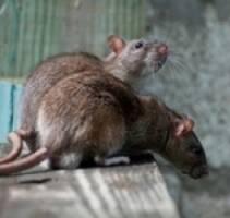 Купити щуроловки в Києві та інші засоби для боротьби із шкідниками пропонує ПП Крес!