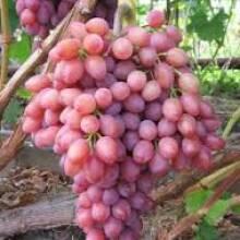 Доведено, що купити саджанці винограду найкраще восени!