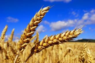 Тепер ми пропонуємо збір врожаю пшениці