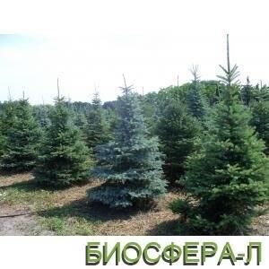 Питомник хвойных растенийБиосфера-Л запускает АКЦИЮ – минус 30 % на ели!