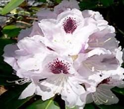 З'явився в продажу новий сорт Рододендрона білого (Calsaр)