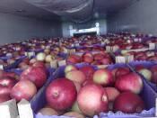 Яблоки Айдаред на экспорт фото