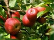 Купить яблоки Эрли Женева на экспорт (фото)