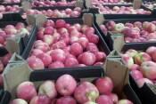 Купить яблоки Целесте на экспорт (фото)