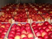 Купить яблоки Элиза экспорт (фото)