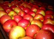 Купить яблоки Чемпион на экспорт (фото)
