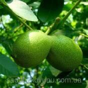 Буковинский орех (фото)