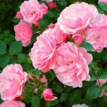 Поспішайте придбати чайну ефіроолійну троянду Lamour за новою ціною