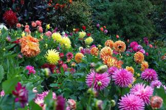 В Украине открыто новые сады георгин!