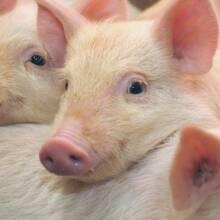 и сонник большие свиньи много