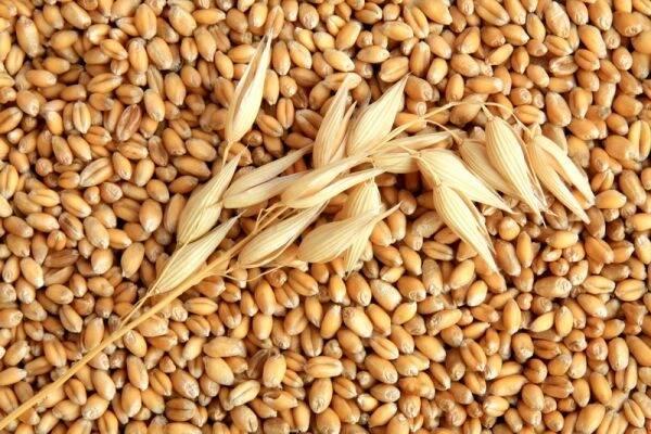 Прорив у галузі біотехнологій: вирощування зернових культур за допомогою Led ламп