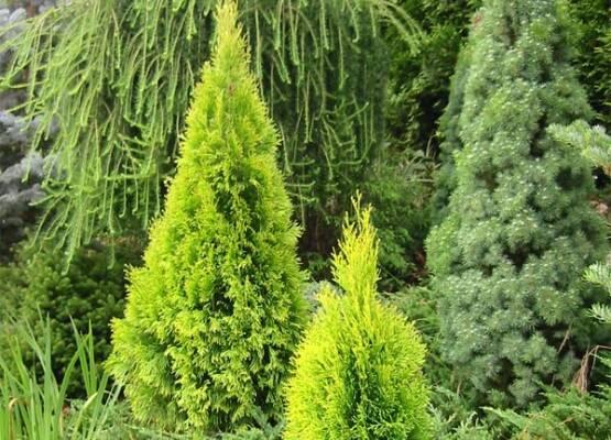 Стало відомо, які хвойні рослини наділені сильною позитивною енергетикою